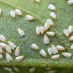 Agrivalle obtém registro para produto biológico que controla mosca branca